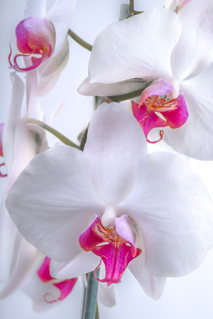 centres: White orchid flowers with pink and magenta centres viewed up close on a white background.