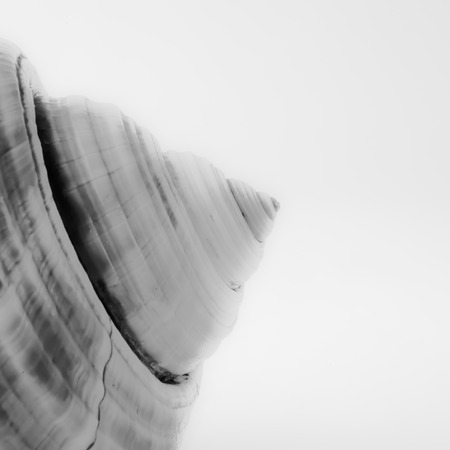 pecks: An abstract close up photo of a sea shell on a white background in black and white, with emphasis on lines shape, texture and form.