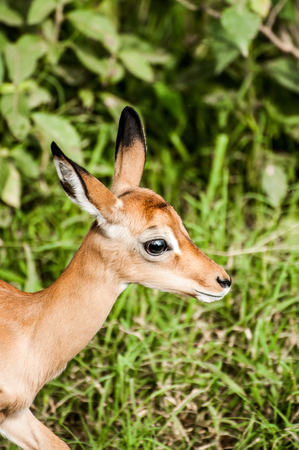 A portrait of the neck and head of a baby impala moving in to the image from left to right in front of some lush green grass and bush.