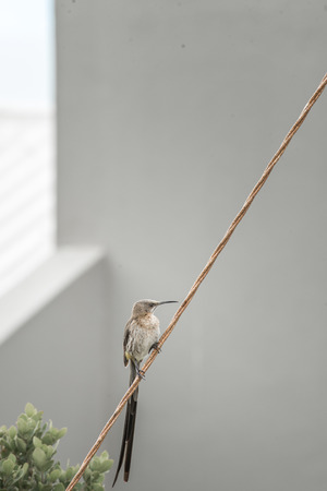 monogamous: A Sugarbird resting on a wire cable infront of a holiday home at Rooi Els in the Western Cape.