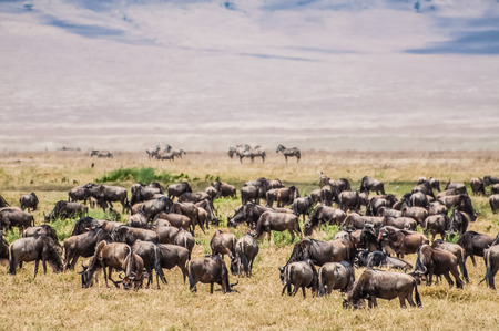 conservation grazing: A heard of wildebeest stand grazing on the dry grass inside the Ngorongoro Crater with the slopes of the crater in the background.