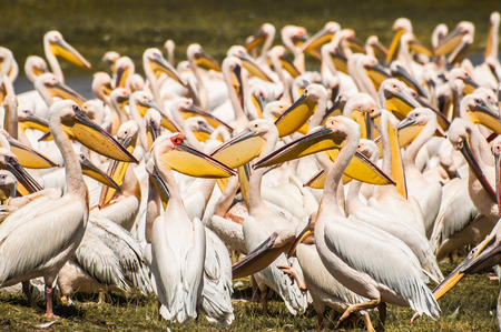the fittest: A whole flock of pelicans gater at the edge of the water a Lake Nakuru in Kenya