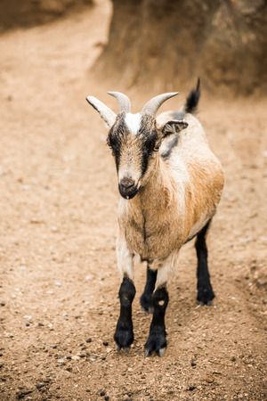 brown goat: A brown and white, young pygmy goat stand in her pen looking towards the camera.