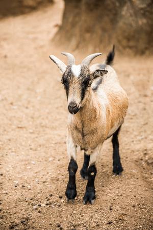 macho cabrio: Un marr�n y blanco, joven pigmeo cabra se interponga en su pluma mirando hacia la c�mara.