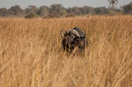 identifiable: The dark brown shape of a buffalo with clearly identifiable horns stand and watches in the light yellow to brown grass of Moremi Game Reserve in the Okavango Delta. A line o trees are visible on the horizon.