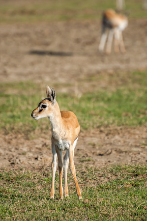 gazelle: A young thomson gazelle stand facing the viewer on some short grassland head up and to the side.