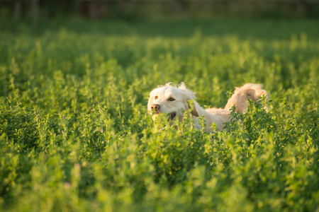 retrieved: A golden retriever is submerged in new fodder on the farmland as she returns with the tennis ball which she has just retrieved.