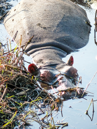 lies down: A big hippopotamus lies very relaxed an a shallow pool in the grassland while waiting for the sun to go down.