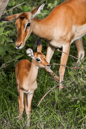 follow through: The mother impala follow her recently born kid as they walk through the narrow paths of the thicked in the Nakuru National Park in Kenya. Stock Photo