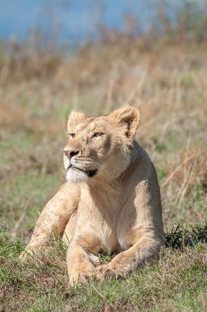 beine spreizen: Ein weiblicher L�we liegt entspannt in der Morgensonne vorderen Beine und Pfoten vor ihr ausgebreitet, w�hrend sie den Blick �ber den Krater. Lizenzfreie Bilder