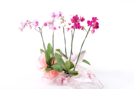 magenta decor: Three different coloures of orchids in cellophane wrapped pots, all together on a white background.