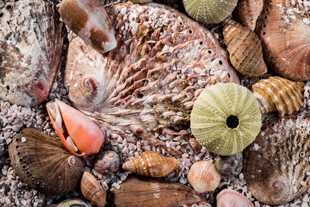 specialised: Different kinds of sea shells ly together, all mixed up, and slightly covered in course sea sand.