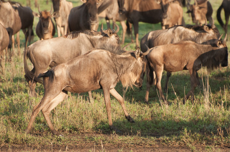 tanzania antelope: Wildebeest in the Ngorongoro Crater in Tanzania start running after getting a fright.