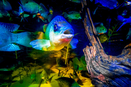 reproduced: A talapia fish looks towards the camera from inside a fish tank filled with different types of fish found in the Okavango Delta. Stock Photo