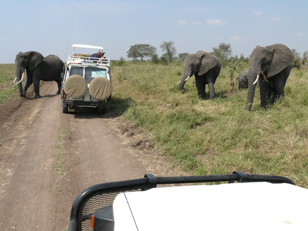 fourwheeldrive: Four elephants are about to cross gravel road in the Serengeti where two  vehicles are standing as the tourists are taking photographs of the elephants.