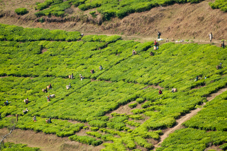 unskilled worker: Many workers pick tea against the slopes of a tea plantation as viewed from a distance.