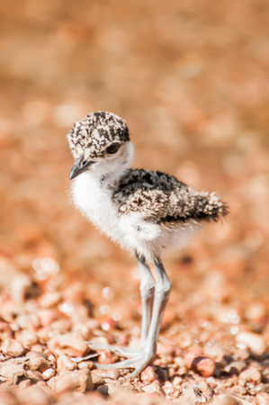 lapwing: A full view of a lapwing chick on a pebble beach by lake Victoria Uganda.