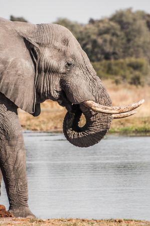 chobe national park: An elephant drinks water by a river inside Chobe National Park in Botswana.