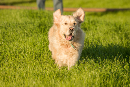 fetch: A female golden retriever dog runs and plays in the short green grass of autumn after the harvest as her owner throuws a tennis ball for her to fetch. Stock Photo