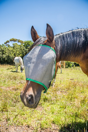 irritating: Portrait of a horse wearing a fly net over the face to protect if from irritating flies in the eyes.