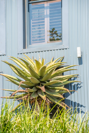 An aloe plant stands in front of a corrugated wall of a house, with a window directly above.