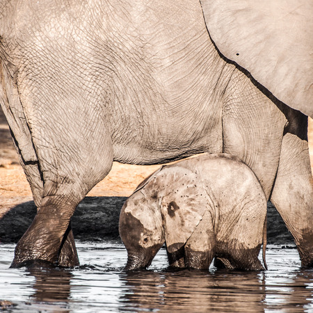 female animal: A baby elephant stands in front of its mother in the water. Stock Photo