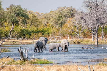 the fittest: Four elephants play and drink in a large water pool by Savuti, Botswana.