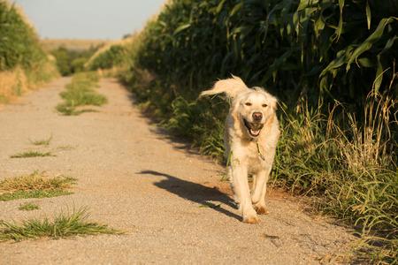 retrieval: A female golden retriever dog walks along a gravel road that runs through a corn field filled with fully grown corn.