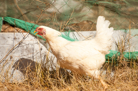 perceived: A white chicken runs along a fence as it tries to escape percieved danger.