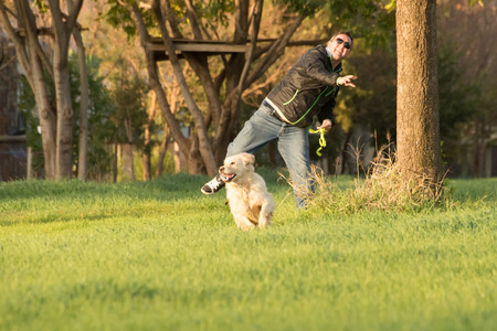 retrieval: A female golden retriever dog runs and plays in the short green grass of autumn after the harvest as her owner throuws a tennis ball for her to fetch. Stock Photo