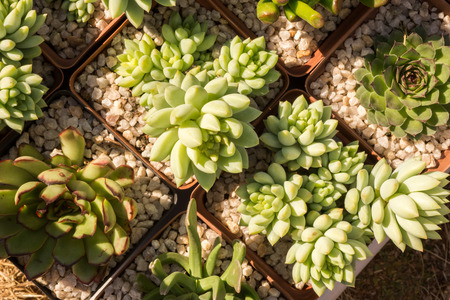 specialised: Succulent plants in pots as viewed from above. Stock Photo