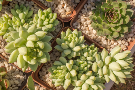 specialised: Succulent plants in small planters filled with rough gravel and viewed from above.