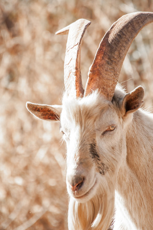 butterfat: Portrait of a Saanen Billy Goat with big horns outside on the farm.
