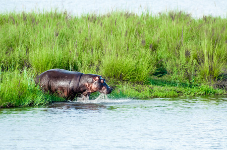 enters: A hippopotamus enters the water of a lake from the land with a big splash.