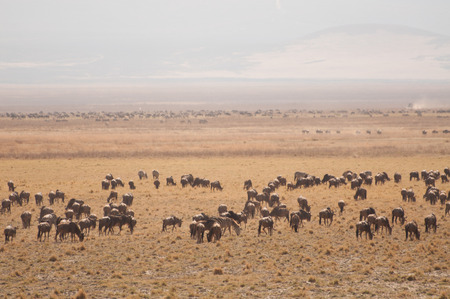 tanzania antelope: A herd of gnu graze on the vegetation in the dry grassland of the Ngorongoro Crater. Stock Photo