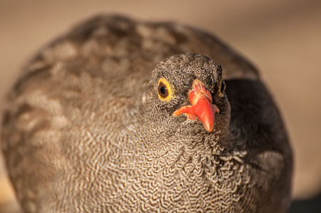 phasianidae: Up Close Portrait of a Common Quail