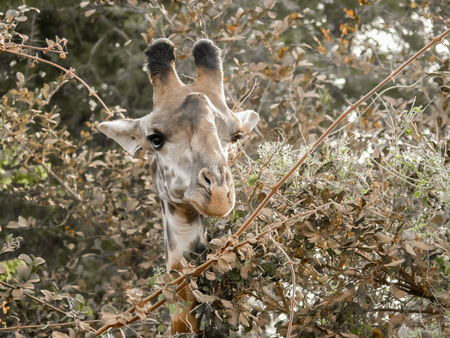 browses: Comical view of the head of a giraffe as it browses on the leaves of some trees in Nakuru National Park, Kenya.