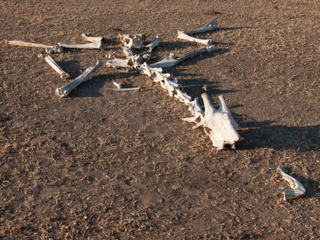The decaying skeleton of a dead giraffe lying spread out on the ground Standard-Bild