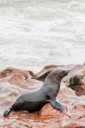 blubber: A wet cape fur seal sitting on the rocks by the water at Cape Cross, Namibia.