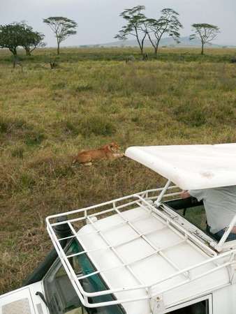 game drive: Person watching a lion from the open roof of a game vehicle during a game drive in the Serengeti, Tanzania.