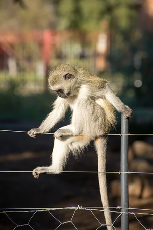 cheeky: Cheeky vervet monkey balancing and playing on a farm fence.