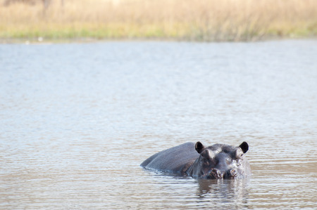 hot day: A hippopotamus lies in the water of a lake while looking at the viewer.