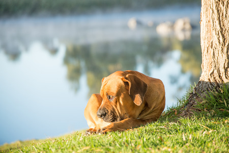 weeping willow: A young male boerbull dog lies under a Weeping Willow tree by the river. Stock Photo