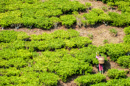 unskilled worker: A worker with a basket on his back cuts tea in a tea plantation of Southern Tanzania.