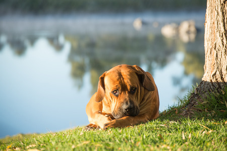 boerboel dog: A young male boerboell dog lies under a Weeping Willow tree by the river.