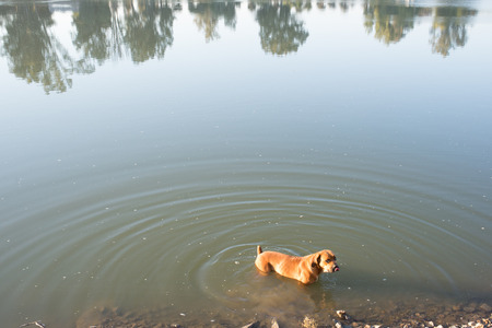 boerboel dog: A Boerboel dog stands waist deep in the river.