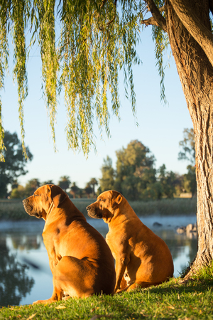 boerboel dog: Two boerboel dogs sit together in the warm morning sun on the bank of the river under a weeping Willow tree, and enjoy the view.