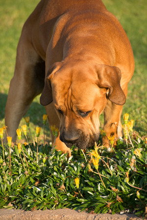 boerboel dog: Portrait of a young male Boerboel dog as he smells the small yellow flowers in the green grass.