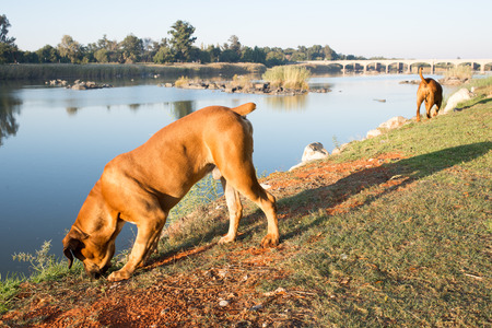 might: Two Boerboel dogs walk along the river bank andcuriously sniff at things that might interest them.