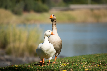 Two geese, one male, the other female, walk along the green grass of the river bank.